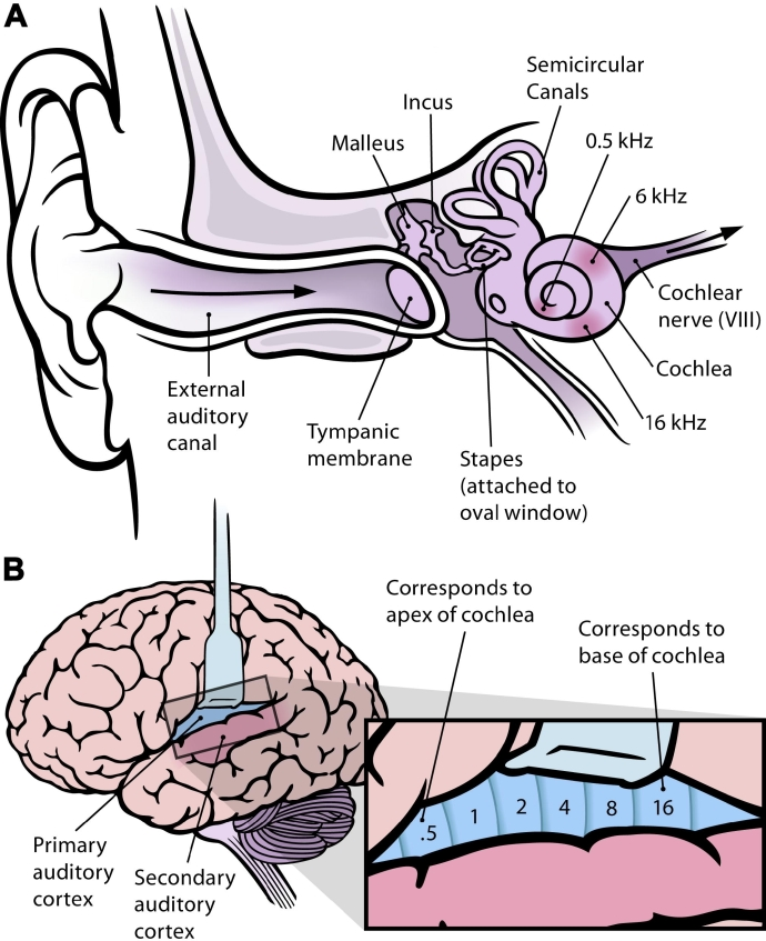 Frequency_mapping_in_human_ear_and_brain_-_10.1371_journal.pbio.0030137.g001-L