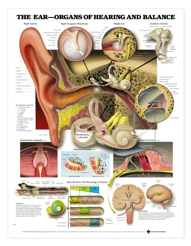 img_img_9781587791208_ear_Anatomy_chart